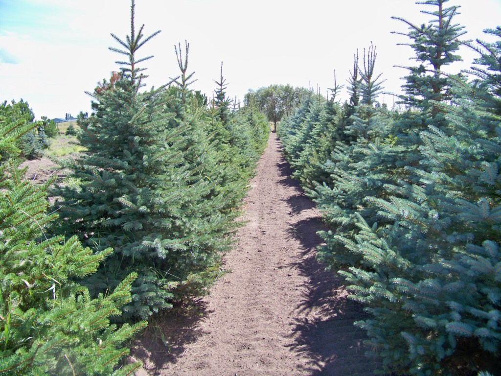 Green and Blue Spruce